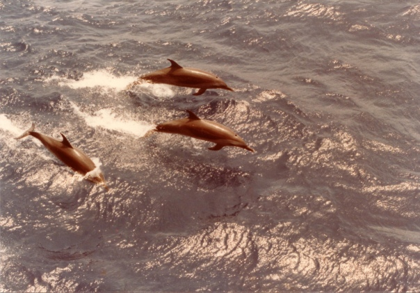 Photo of three dolphins jumping through waves in the Gulf of Mexico